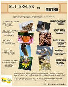 Ever struggled to tell the difference between butterflies and moths? http://insectlore.com #butterflies #moths