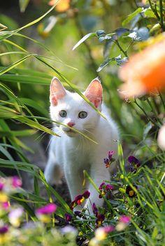 (ᵔᴥᵔ) Beautiful Spring White Kitten.