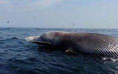Hallan ballena muerta en las costas de Choroní