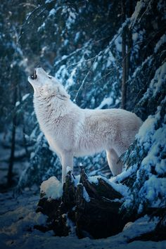 Arctic Wolf by Michael Schönberger