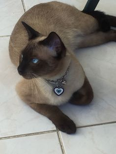A regal Siamese. A regal Siamese. Siamese Kittens, Cats And Kittens, Animals And Pets, Cute Animals, Animals Images, Oriental Cat, Beautiful Cats, Cat Breeds, Crazy Cats