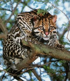 JAGUATIRICA •É um felino pequeno e quando adulto parece até um filhotinho de onça.