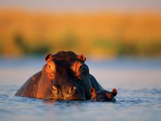A Female Hippotamus and Her Youngster Enjoy a Dip in Their Favorite Water Hole Photographic Print by Beverly Joubert at Art.com
