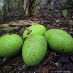 @ natgeo - Photograph by @christianziegler  This is a freshly laid clutch of 4 cassowary eggs in the tropical forest of Queensland, Australia. About every second day, the female comes and lays another egg. This nest will grow to 6 eggs in the end. They are an amazing color– electric green! The father then takes care of the nest and incubates the eggs for almost 2 full moths. After the chicks hatch he tends to them until they are about 10 months old. @natgeo @natgeocreative @thephotoso...