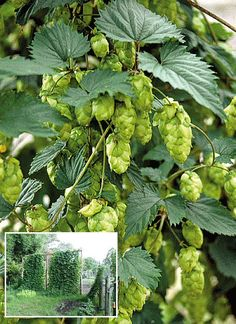 Grow Your Own HOPS Humulus lupulus VINE Seeds