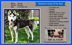 Love is being owned by a husky!: Training dogs while training kids