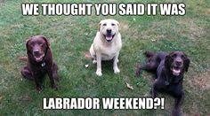 Labor Day weekend #labradorretriever #TeamChuckie #ChuckietheChocolateLab #laborday #weekend #tgif #labordayweekend #funny #dogmemes