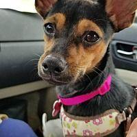 Kenna Is An Adoptable Welsh Corgi Dog In Des Moines Ia Corgi Dog Corgi Dog Adoption