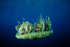 dejongmarinelife.nl | octopods / jellyfish