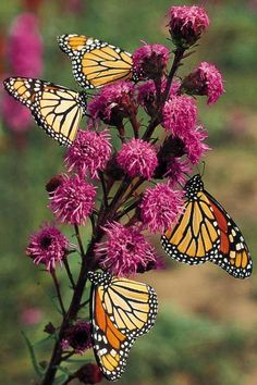 Beautiful monarchs