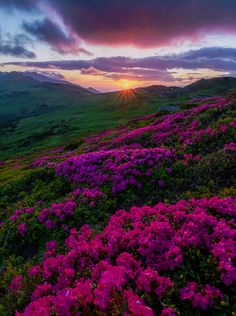 Sunrise purple flower mountains