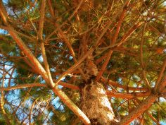"Essential Oil Profiles: Pine~~""Resonant Simplicity"""