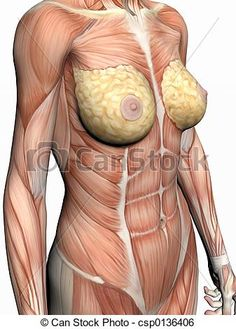 Human abdominal muscles human abdominal muscles human anatomy anatomically correct medical model of the human body a woman with ccuart Gallery