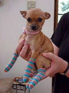 Chihuahua Socks!