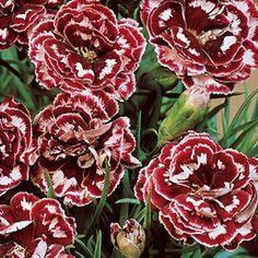Laced Romeo Carnation