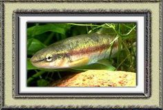 Western Black nose Dace