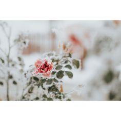 Taka zimę lubię! i tylko na zdjęciach #storytellingphotography #winter #rose #analog #photography #dominikakubinska  #vscocam #vscopoland #instavsco #lookslikefilm #white #bokeh