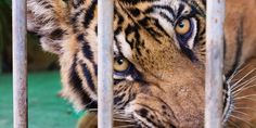 HELP END THE SUFFERING OF WILD ANIMALS IN CIRCUSES FOR GOOD!  Tell Congress:  SUPPORT The Traveling Exotic Animal Protection Act (H.R. 4525), which would END the use of wild and exotic animals in traveling circuses!  PLEASE SIGN and SHARE WIDELY!