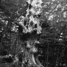 【assom_tea】さんのInstagramの写真をピンしています。《#tree #bigtree #big #deadtree #dead #bump #nature #woods #forest #plant #island #shadow #sunlight #monochrome #fujifilm #x100 #finepix #巨木 #木 #凸凹 #自然 #林 #森 #植物 #島 #影 #光 #富士フィルム #モノクロ #白黒》