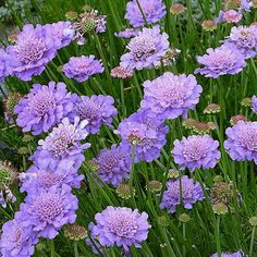 Scabiosa 'Butterfly Blue' (or similar 'Mariposa Blue') - these beautiful purple/blue flowers are bountiful and bloom through summer, drawing hummingbirds and other pollinators. Deciduous perennial for full sun.