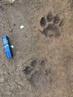Leopard tracks, Olivers camp, tarangire
