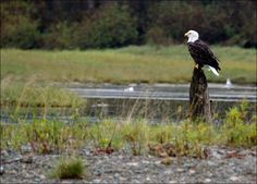 Photo taken at the Fraser Valley Bald Eagle Festival in the Harrison Mills, BC, Canada area. A great festival to see thousands of bald eagles, and thousands of salmon. One of the amazing wildlife spectacles close to home. Fraser Valley, Eagles, Bald Eagle, Wildlife, Bird, Places, Animals, Animales, Eagle