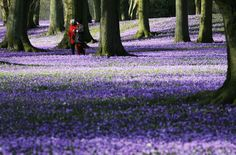 Strollers walk through a sea of crocusses in the park of the castle in Husum, northern Germany