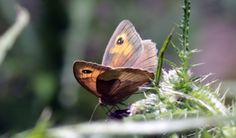 Meadow Brown #insects - http://anenglishwood.com/?p=9738