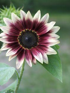 "God's Growing Garden: ""Cherry Rose"" Sunflower"