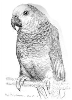 A detailed pencil illustration I did of a Blue Fronted Amazon parrot.