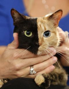 Venus, the two-faced cat, appears on Today Show