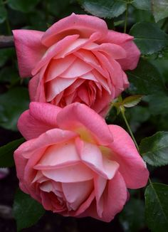 (Sommersonne) W. Beautiful Rose Flowers, Pretty Roses, Love Rose, Exotic Flowers, Amazing Flowers, My Flower, Beautiful Gardens, Flower Art, Beautiful Flowers