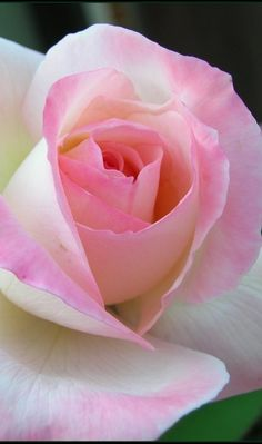 The last hurrah?!!! Tis the last rose of summer, Left blooming alone; All her lovely companions, are faded and gone.. #flowers #pink