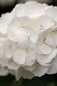 Hydrangea macrophylla snowball - tried so hard to grow these...wrong soil !!
