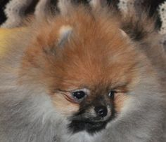 Baby Doll, Teddy Bear faces could be used to describe certain Pomeranian face types. Description from girlwithapom.blogspot.com. I searched for this on bing.com/images