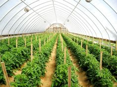 In Kenya, where agriculture is the foremost way of wealth generation, popularizing modern farming techniques such as greenhouse farming can uplift the standards of crop production to a huge extent.
