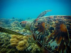 Went for a swim with this guy today. #Australia #travel #traveling #gbr #greatbarrierreef #reef #barrierreef #cairns #queensland #qld #sea #turtle #seaturtle #turtlesofinstagram #ocean #fitzroy #island #fitzroyisland #wander #wanderlust #gopro #hero3 #hero #beautiful #beauty by _get__in__the__van_ http://ift.tt/1UokkV2
