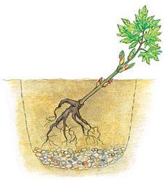 Strauch-Päonien pflanzen