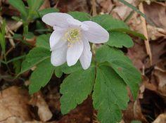Anemona de bosque (Anemone nemorosa)