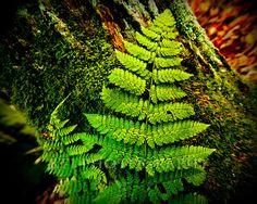 Green Fern Against a Mossy Tree Trunk 8x10 inch by BTIphoto, $19.00