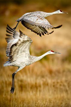 Sandhill Cranes, Bosque del Apache National Wildlife Refuge,  Socorro County, New Mexico by howardignatius