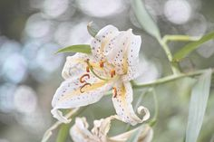 Lily by marbee