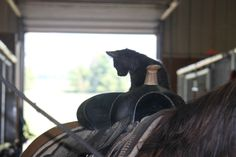 Stable kitten Salena on Lesson Horse Holly