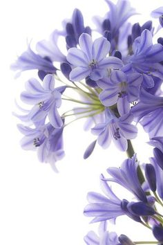 Agapanthus -- from the amaryllis family; native to Africa...  <3<3