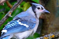 https://flic.kr/p/unnHxR | Fledgling Blue Jay | Just out of the nest on the first day of summer.....
