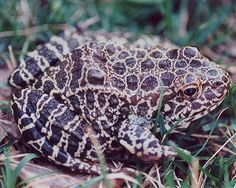 """Northern Crawfish Frog (Rana areolata circulosa). Status listed as """"special concern"""" for Kentucky."""