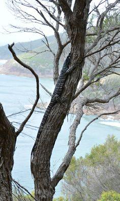 We spotted this Goanna on the hike up to the summit of Tomaree Head. Port Stephens #goanna #portstephens