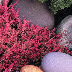 Erica: A red heath that glows in frosty weather - Best Winter Flowers for Color - Sunset Mobile Beautiful Flowers, Plants, Cool Plants, Autumn Garden, Winter Garden, Winter Plants, Heather Plant, Flower Spike, Winter Flowers