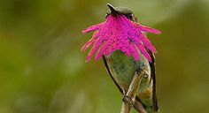 Male Wine-throated hummingbird