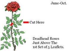 Dead Heading Your Roses for More Blooms! Cut off the faded flowers, using pruning tools such as scissors or hand pruners. Rose Bush Care, Rose Care, Peony Care, When To Prune Roses, Deadheading Roses, Pruning Roses, Pruning Plants, Rose Plant Care, Front Yard Flowers